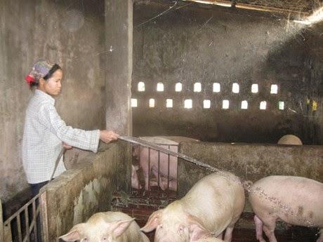 Tạo đà cho chăn nuôi nông hộ